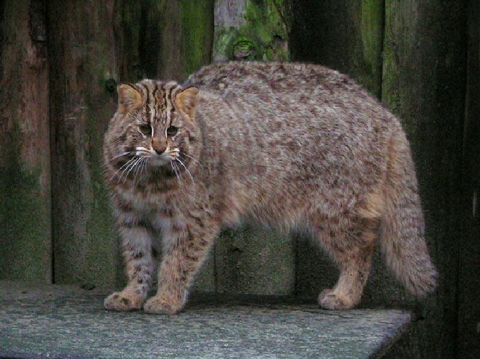 Лесной дальневосточный кот