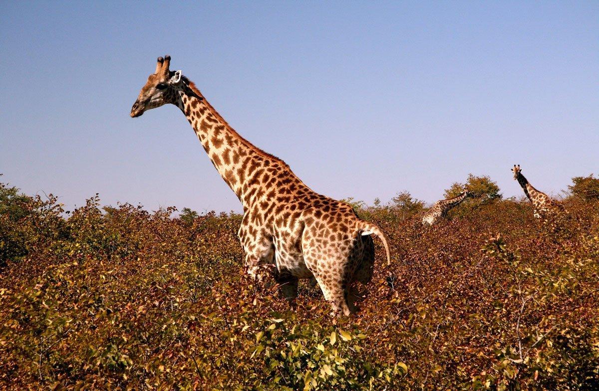 Видео секс у жирафов какое