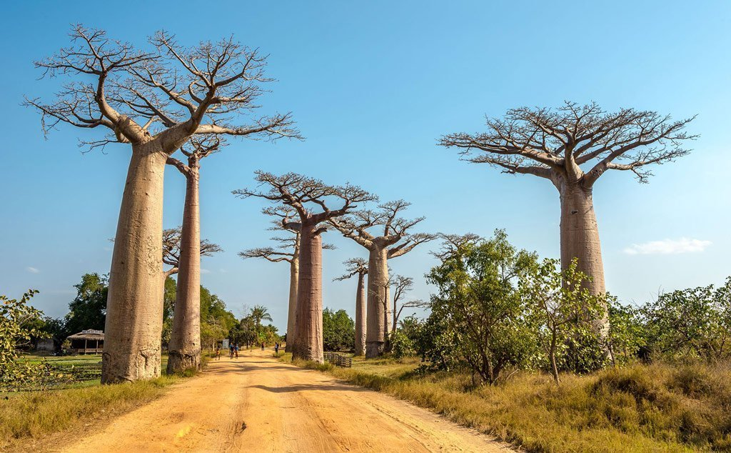 bobab essay 1 the baobab, adansonia digitata this tree is in first place because of its potential for overall mass: girth, spread and height combined the baobab never becomes very tall, seldom exceeding 20 metres in height, but it can become extremely fat with a massive trunk and branches.