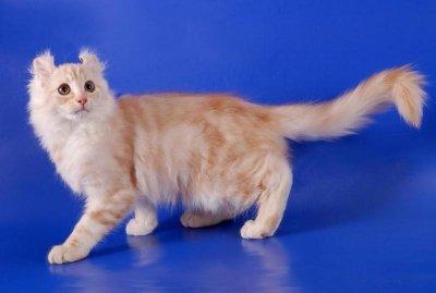 Карликовые породы кошек