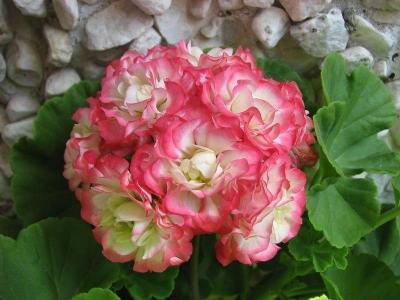 Пеларгония розебудная розовая