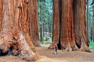Инфо справка о секвойях. Величественное дерево секвойя покоряет всех своей помпезностью Дерево секвойя является уникальным представителем растительного мира