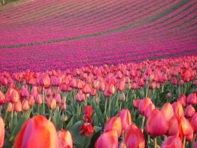 Цветы и поля тюльпанов в Голландии, цветочные рынки и парки Амстердама