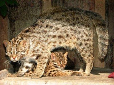 Ареал обитания привычки и повадки дальневосточного лесного кота