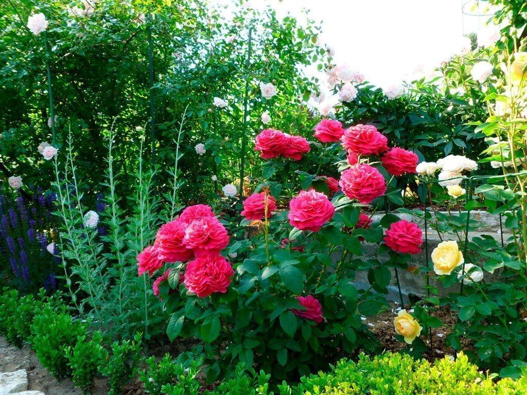 Роза английская выращивание и уход в 835