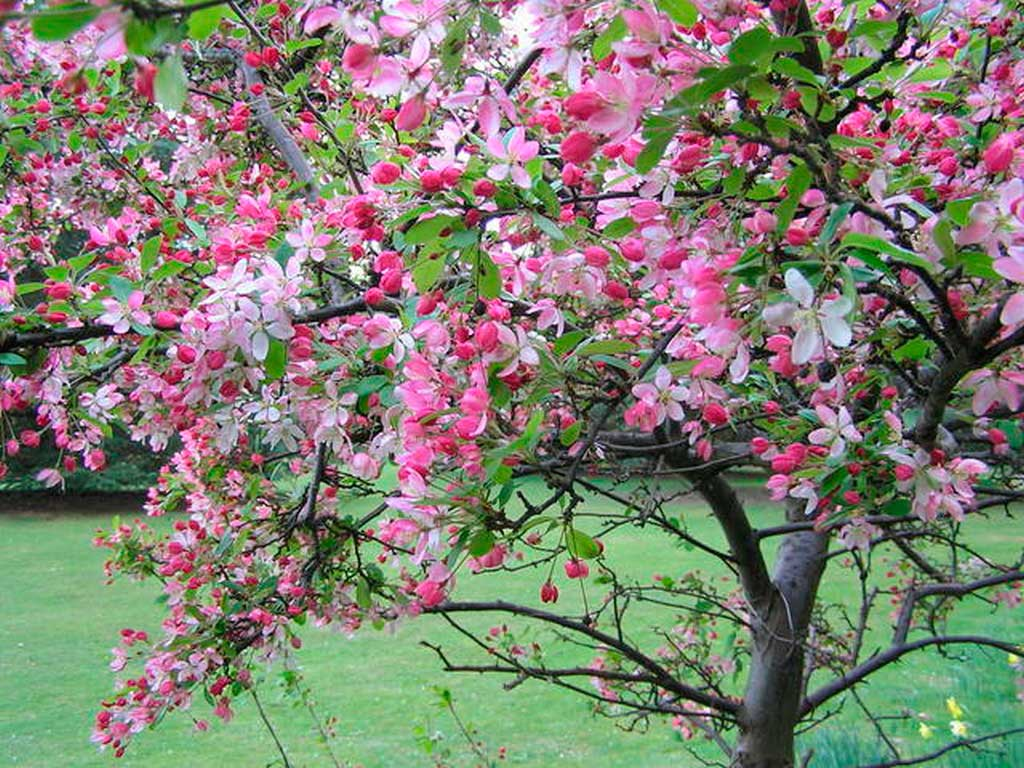 Яблоня декоративная