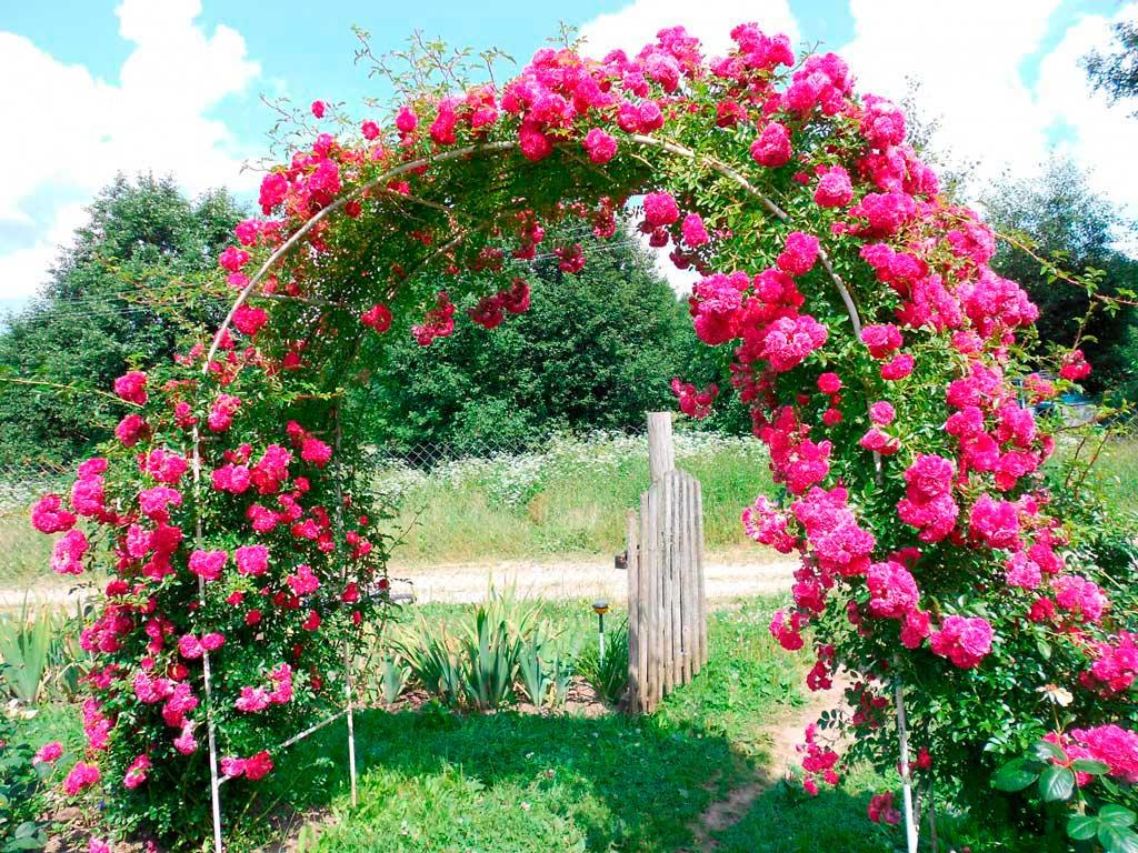 Проекты-онлайн Просмотр темы - Плетистые розы