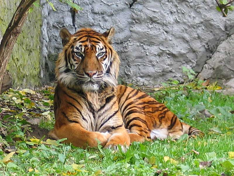 a research on the tiger subspecies