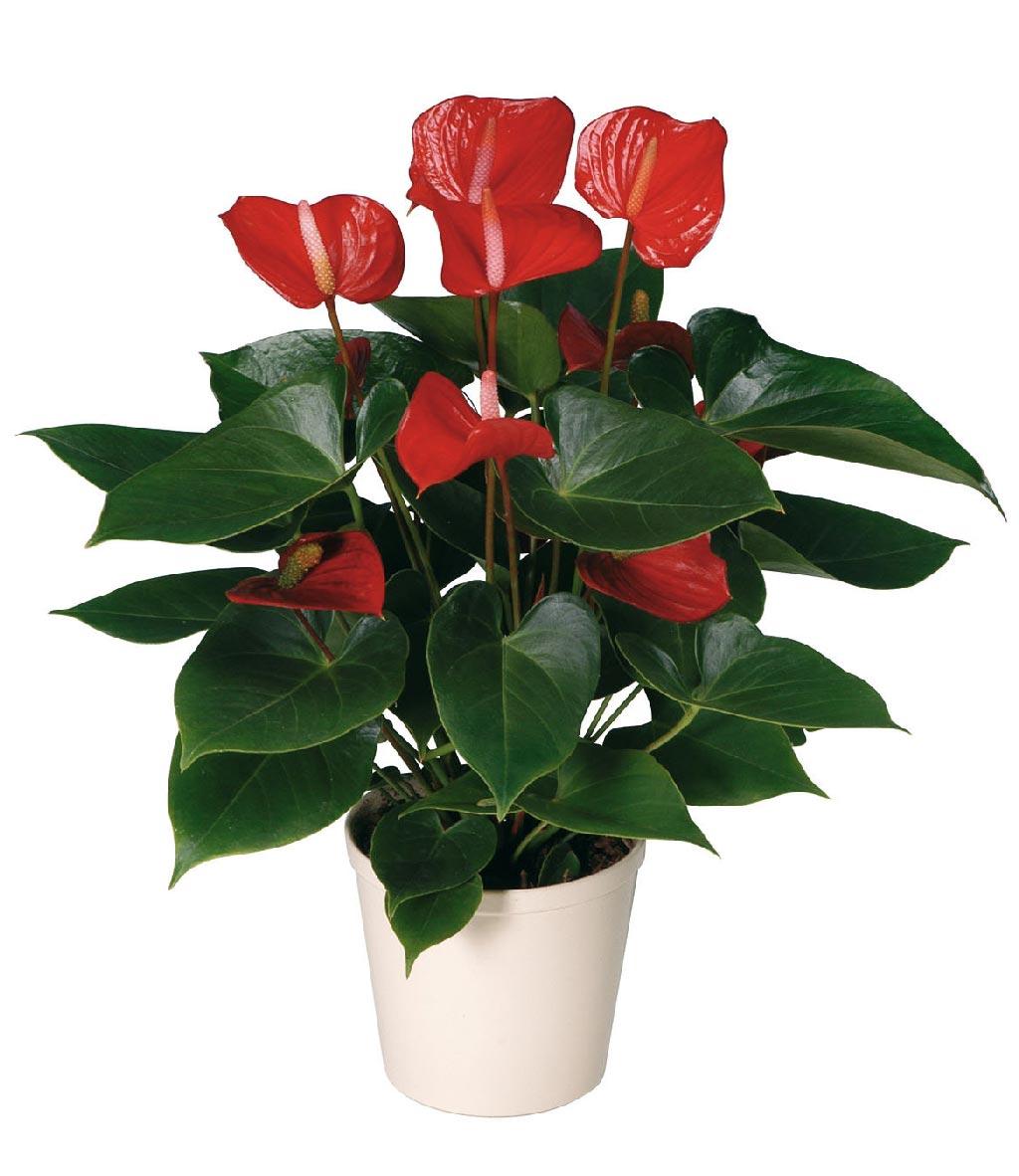 Комнатный цветок с красными цветами