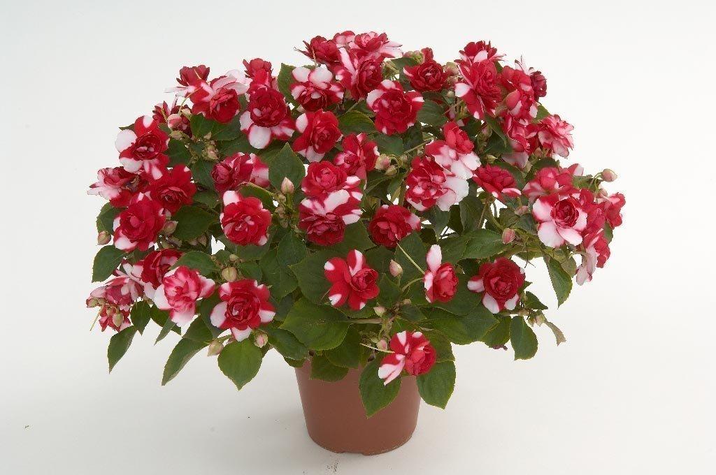 Фото комнатного цветка бальзамин