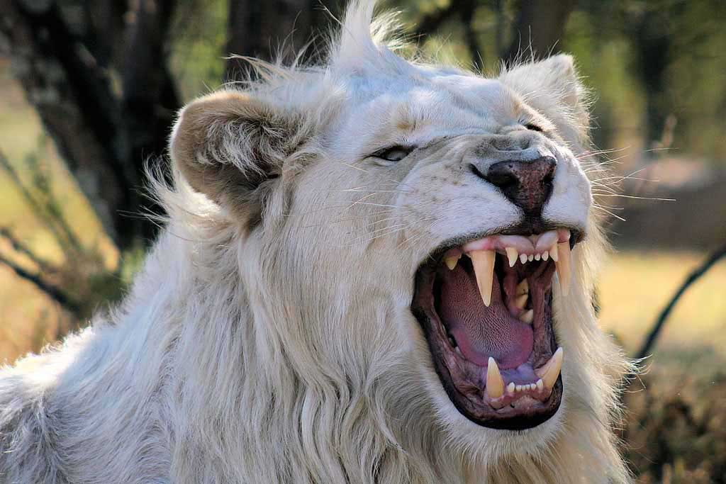 White lion images