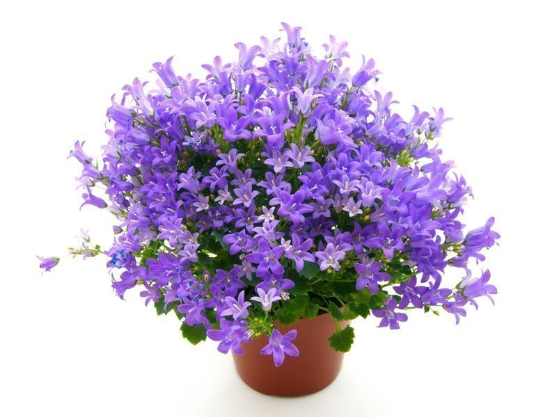 Кампанелла цветок комнатный уход фото